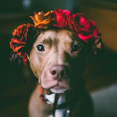 Uplifting So You Want A American Pit Bull Terrier Ideas. Fabulous So You Want A American Pit Bull Terrier Ideas. Cute Puppies, Cute Dogs, Dogs And Puppies, Chihuahua Dogs, Cute Baby Animals, Animals And Pets, I Love Dogs, Puppy Love, Photo Animaliere