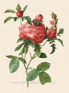 Prolifera de Redouté Rose Picture. Website contains a biography of Jean-Phillipe Redoute, as well as a collection of his rose paintings and an explanation of the language of roses.