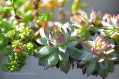 Succulent plants by justiceedinf #nature #mothernature #travel #traveling #vacation #visiting #trip #holiday #tourism #tourist #photooftheday #amazing #picoftheday
