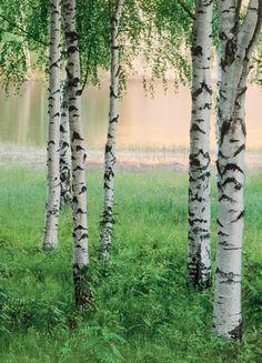 birch trees everywhere.  My Elementary School was named. Birchwood Elementary