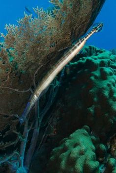 Common Reef Fish of Florida and the Caribbean: Trumpetfish