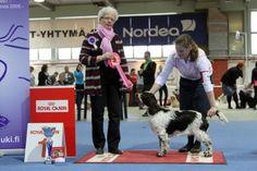 Hyvinkää 20.4.2013 (puppy show). FCI 8: Ocean Pitfal Miss Muffet, English Springer Spaniel