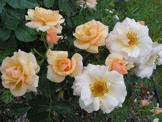 Rose Orders