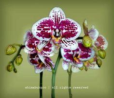 "Saatchi Art Artist WAYNE SHIMABUKURO; Photography, ""Phalaenopsis 'Leopard'"" #art / 6x7 / $250."
