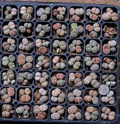 These succulents seeds are tiny but require minimal care and do not require frequent watering. Random species in random quantities. Mix equal parts of potting mix and perlite. Moisten the mix with water, and fill a pot with drainage holes, up to about 1/2 inch from the top. Sprinkle the