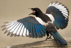 European Magpie Bird via Bird's Eye View at www.Facebook.com/aBirdsEyeViewForYou
