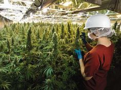 A worker inside CanniMed Therapeutics Inc.'s medical marijuana production facility southeast of Saskatoon. Photo courtesy of CanniMed Therapeutics Inc.