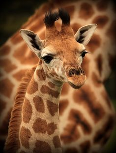 "'Giraffe Portrait' - photo by Chris Smart, via 500px ... he's ""just tootin' along..."""