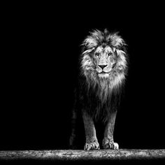 Photographic Print: Portrait of a Beautiful Lion, in the Dark by Baranov E : 16x16in