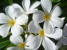 Fragrant Plumeria on the beautiful island of Kauai by Monica V. Zekulin