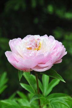 ~Paeonia lactiflora 'Mme Calot'