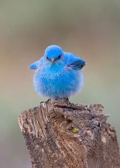Precious baby Mountain bluebird.  Funny, I wonder if all birds are so round as babies; obviously his wings as they are could never lift this cute little featherball...