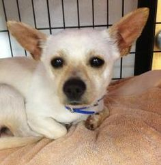 Pirro is an adoptable Chihuahua Dog in Lambertville, NJ. Little PIRRO is a shy and very sweet white colored male Chihuahua that is 1 or 2 years old. He came into Animal Alliance foster care because hi...