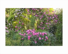 Andre Eve Rose Nursery, France: Pergola With Rosa 'pink Cloud' And Rosa 'roville'. In Centre And At Front Is Rosa 'belle Au Bois Dormant' by Clive Nichols