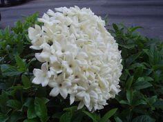 # bridal  bouquet # stefanotis   flowers