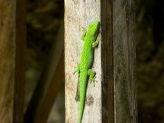 Geko from Seychelles - Little green geko from Seychelles