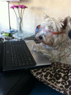 Westie Working