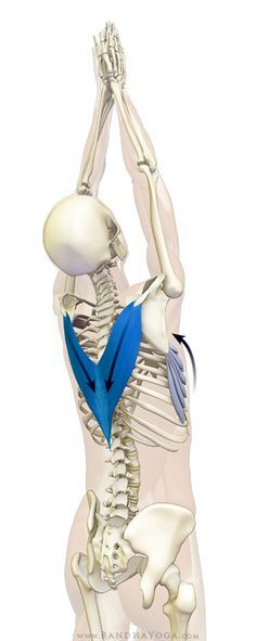 Anatomy of yoga | lower trapezius and serratus anterior - tadasana. Shoulder blades flat and down.