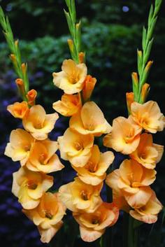 Gladiolus Vedetta