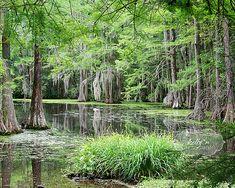 CG28- Swan Lake Iris Gardens- Sumter, SC- Cypress Trees- Nature Photography- Lake Reflections- Spring Green Brown- 8x10 Fine Art Print on Etsy, $25.00