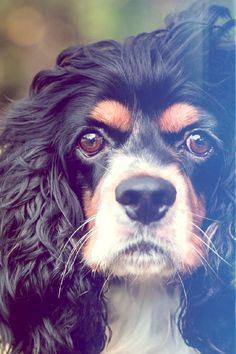 The Cavalier King Charles Spaniel is a small breed of dog with a long and prominent history. When trained appropriately, it is rather simple to keep in good health and wellness and to be well-behaved. This type is often used as a buddy pet as well as for hunting, however with appropriate treatment, they can likewise be utilized for police work. The Cavalier King Charles Spaniel can be stubborn, so it is best suited for a person that is patient and also calm. What You Must Know In Case You Have A King Charles Puppy, King Charles Spaniel, Cavalier King Charles, Spaniel Puppies, Love Your Pet, Lap Dogs, Dog Breeds, Spaniels