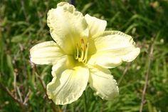 Hemerocallis Hybr.'So Lovely'