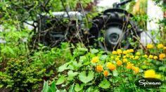 ballblom - liker fuktig jord (dam blomst)