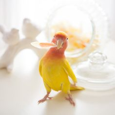 Adorable peachface lovebird! (Plus, the photography is exquisite!)