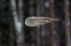 A Great Grey owl, doing its impression of a bullet, copyright Necole Cooper Cameron