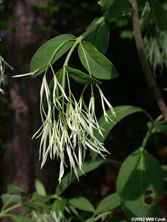 Fringetree (Chionanthus virginicus) Fringe Tree, Plant Leaves, Plants, Plant, Planets