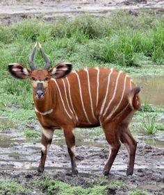 wild animal world Bongo (Tragelaphus eurycerus) africa African Animals, African Safari, Wild Animal World, African Antelope, Creature Picture, Rare Animals, Wild Animals, Patterns In Nature, Animal Photography