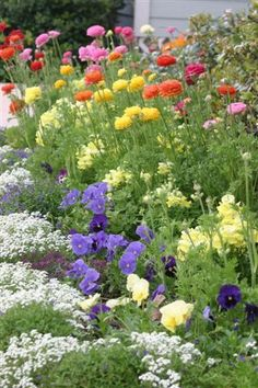 Vibrant plantings ~ From a garden on Duke of Gloucester street. Colonial Williamsburg