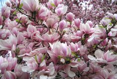 magnolia tree pictures | very useful landscaping magnolia trees. One is the Southern Magnolia ...
