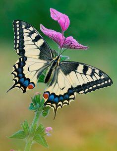 mariposa-sobre-las-flores-purpuras-insectos-butterfly.jpg (596×769)