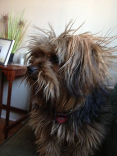 Bad hair day for my Yorkie