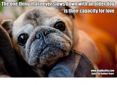 I love my very old pug . And all old dogs Fu Dog, Dog Cat, Pug Love, I Love Dogs, Schnauzers, Funny Animals, Cute Animals, Cute Pugs, Funny Pugs