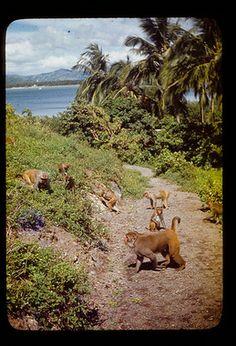 Mono Isla en Cayo Santiago tienes muy monos. Monos es Rhesus Macaques.