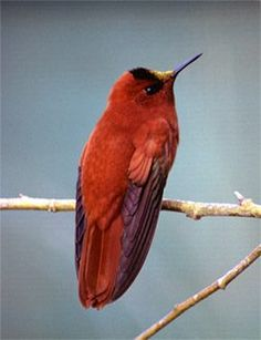 Male Juan Fernández Firecrown, a large hummingbird endemic to the Juan Fernández Islands (Chile) in the Pacific.
