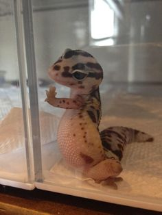 It's a gecko you idiots. A leopard gecko. Baby Animals Pictures, Cute Animal Pictures, Animals And Pets, Funny Pictures, Happy Pictures, Beautiful Pictures, Wild Animals, Cute Pics, Funniest Pictures