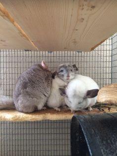 Cute Kawaii Animals, Super Cute Animals, Cute Funny Animals, Cute Baby Animals, Animals And Pets, Chinchilla Cute, Spring Animals, Fluffy Animals, Exotic Pets