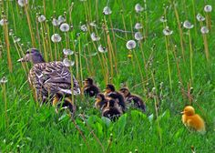 Dashing through the Dandelions... A mother's work is never done - even if you have a golden child. Happy Mother's Day!