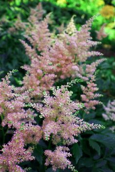 ASTILBE: Astilbes lend a refined grace to perennial borders. Lush deeply cut foliage is attractive for the entire season and is colored from green to bronze. Fluffy spikes on ferny foliage blooming in