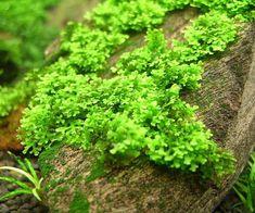 Coral moss (Riccardia chamedryfolia)