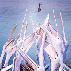 Mine, mine, mine! Wonder who ended up catching this fish? Fantastic shot by @ashish.shetty at The Entrance on the #CentralCoast of @visitnsw . #Pelican feeding takes place here every single day at 3:30pm, 365 days a year – rain, hail or shine! #Padgram