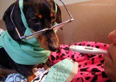 Crusoe taking Mum's temperature http://www.celebritydachshund.com/2013/11/24/doctor-dachshund-crusoe/