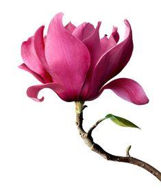 Spade's Pink Magnolias by M Spadecaller Exotic Flowers, Pink Flowers, Beautiful Flowers, Botanical Illustration, Botanical Art, Magnolia Flower, Flower Aesthetic, Magnolias, Flower Wallpaper