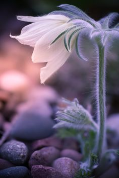 """wowtastic-nature: """" ALONE IN THE DARK on by Peter Spellerberg, Höxter, Germany ◉ on Wikipedia about: Pulsatilla vulgaris """" Unusual Flowers, Amazing Flowers, Wallpaper Gratis, Alone In The Dark, Moon Garden, Flower Photos, Bokeh, Macro Photography, Trees To Plant"""