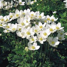 White flowering perennial; Anemone sylevestris 'Madonna' Snowdrop Anemone.