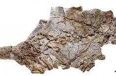 Farmers in China discover great armored dinosaur fossils. From iflscience. Farmers in China discover great armored dinosaur fossils. From iflscience. Dinosaur Fossils, Prehistoric Creatures, Vertebrates, China, Lion Sculpture, The Incredibles, Statue, Farmers, Animals