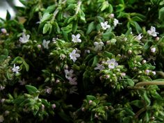 thyme | by underwater_thing